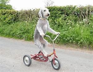 Barry the Bedlington terrier learns to ride a bike. True ...