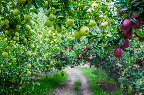 apple washington apples tree orchard orchards varieties golden industry season growing delicious export imposed tariffs farm crop regions facts johnny