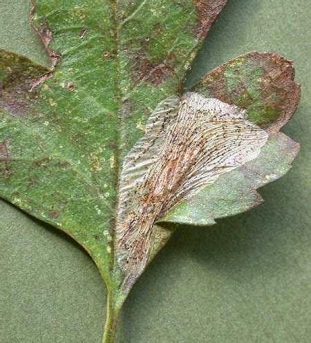 http://www.ukmoths.org.uk/species/phyllonorycter-corylifoliella/leafmine/