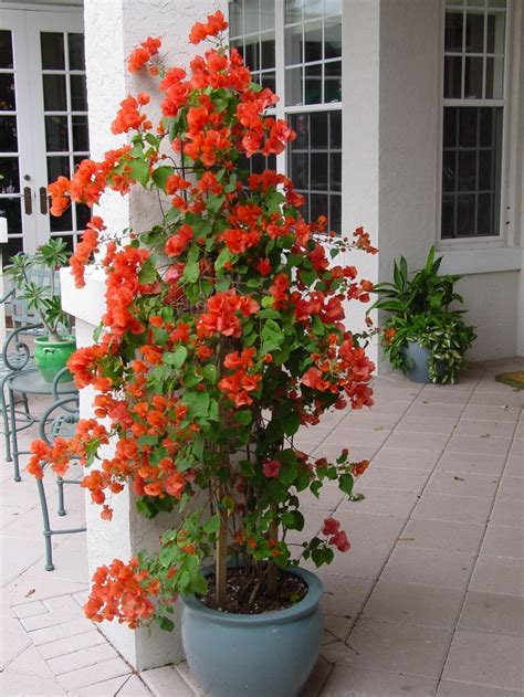 care of bougainvillea in pots this color of bouganvilla container garden sles by botanical concepts