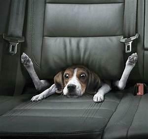 Voiture Pour Chien : harnais voiture pour chien ~ Medecine-chirurgie-esthetiques.com Avis de Voitures