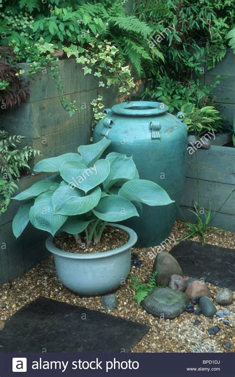 blue hosta in matching blue pot urn in shady spot with ferns in stock photo royalty free