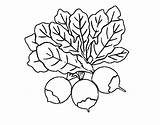 Beets Coloring Three Pages sketch template