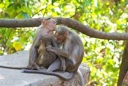 Monkey Freeimages