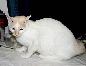 Japanese Bobtail Cats, Cat Breed, Mi-Ke Cat, Bobs ...
