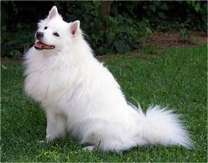 American Eskimo Dog - Breeders, Facts, Pictures, Puppies ...