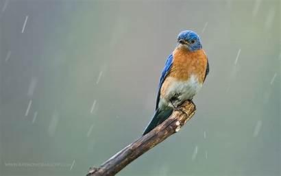 Bluebird Eastern Bird Wallpapers Chick Background Feeding
