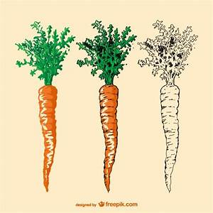 Hand drawn carrot Vector   Free Download