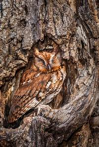Perfectly Camouflaged Owl Gives Away Its Position By