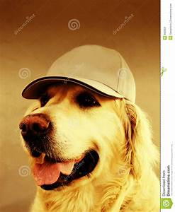 royalty free stock images golden retriever dog cap image