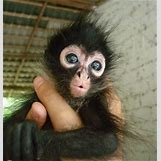Baby Spider Monkey Pictures | 325 x 341 jpeg 41kB