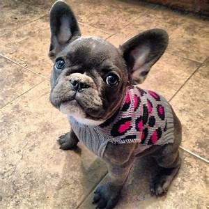 Blue French bulldog in a sweater | Dogs | Pinterest ...