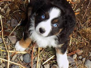 view ad australian shepherd litter  puppies  sale
