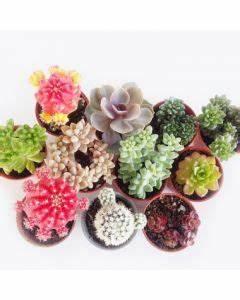 Mini Succulente Pas Cher : achetez votre cactus succulente et plante grasse sur livraison en 2h dans votre ~ Teatrodelosmanantiales.com Idées de Décoration
