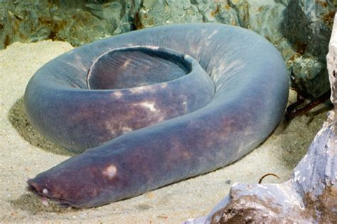 hagfish sea dweller  hagfish fish