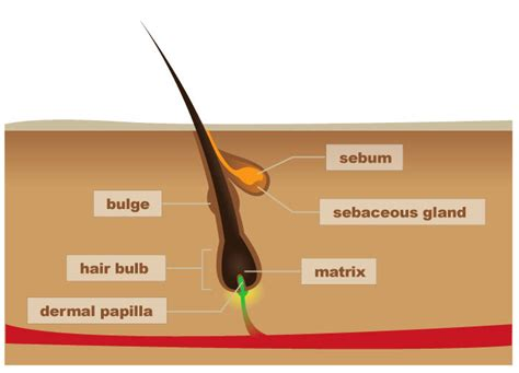 s hair loss 101 hair follicle structure and hair