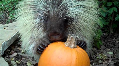 Porcupine Eating Pumpkin And Talking by Teddy Bear The Talking Porcupine Likes Pumpkin Too