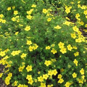 Potentilla fruticosa 'Goldteppich' - Parastā klinšrozīte