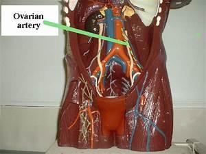 Left Ovarian Vein Images | FemaleCelebrity