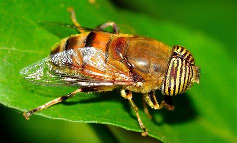 kostenlose bild makro foto diptera fliegen insekt