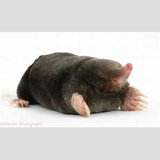 European Mole Facts, History, Useful Information And Amazing Pictures