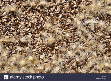 Silybum Seeds Stock Photos Silybum Seeds Stock Images