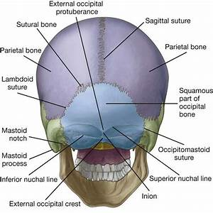Image Result For Sutures Of The Occipital Bone