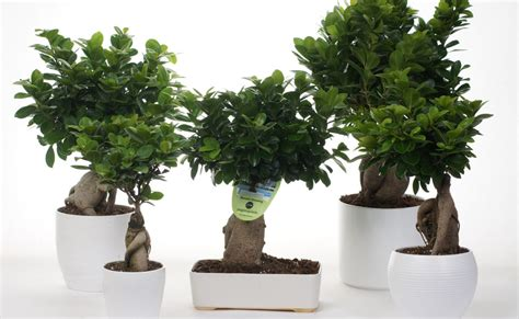 Bonsai Per Interni Bonsai Ginseng O Ficus Microcarpa Il Bonsai Da Interno