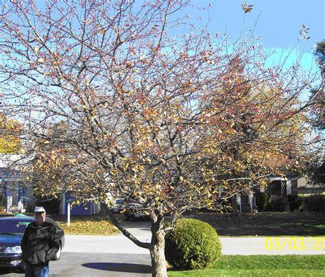 how to prune crabapple tree top 28 pruning crabapple tree crabapple pruning in four easy steps overgrown no more