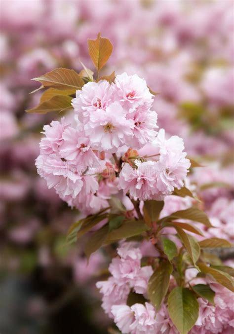 Sakura Cherry Blossom Branch Stock Image Image of petal
