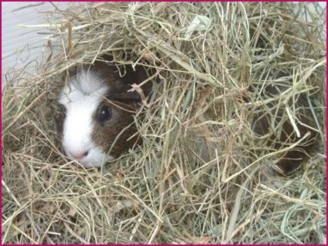 Pine Bedding For Guinea Pigs by Bedding For Guinea Pigs