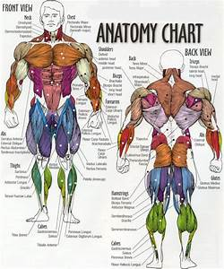 Muscular System Diagram For Kids