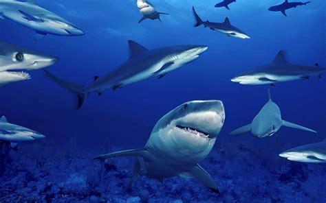 Images Of Sharks Wallpapers Sharks Desktop Wallpapers