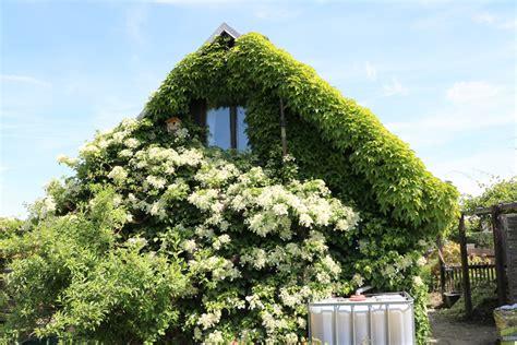 schnell rankende pflanzen balkonpflanzen anleitungen zur pflege hausgarten net