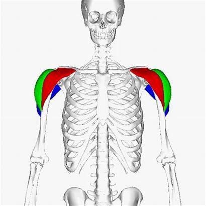 Muscle Workout Deltoid Trapezius Anterior Shoulder Animation