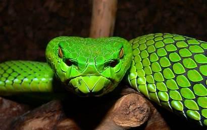 Snake Viper Desktop Wallpapers Snakes Pit Motley