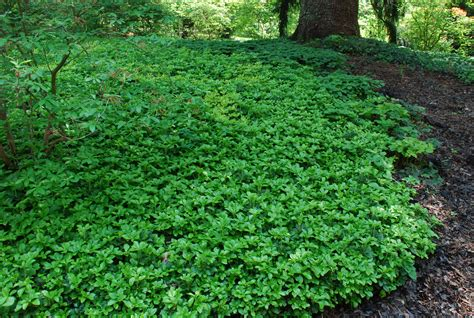 ground covering pachysandra spurge japanese