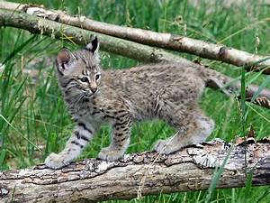 Bobcat at GarLyn Zoo in Michigan's Upper Peninsula
