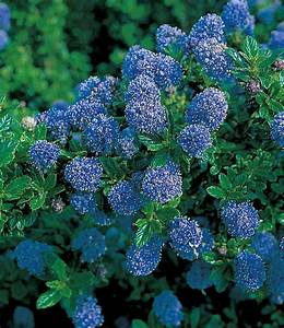 Immergrüne Pflanzen Winterhart Kübel : bl hende bodendeckende pflanzen f r einen freien platz im ~ Lizthompson.info Haus und Dekorationen