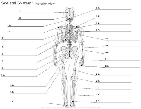 12 Best Images Of Muscular System Worksheet Answers  Printable Muscle Worksheet, Printable
