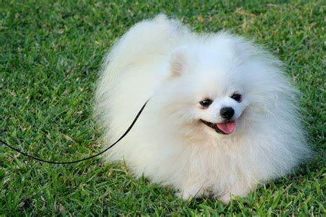 Pomeranian Dog Breed Puppies