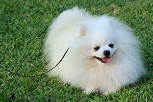 pomeranian puppies | White Pomeranian. Male, age of 2 ...