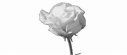 Transparent Rose Gifs Giphy Flower Animated Story