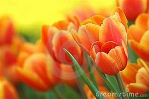 Tulpen Im Garten : orange tulpen im garten lizenzfreie stockbilder bild ~ A.2002-acura-tl-radio.info Haus und Dekorationen