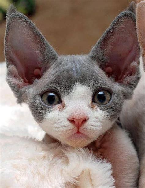 Big Ears Cats Cats Cats Pinterest