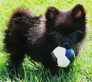 black pomeranian pup holding its ball on the grass outside ...