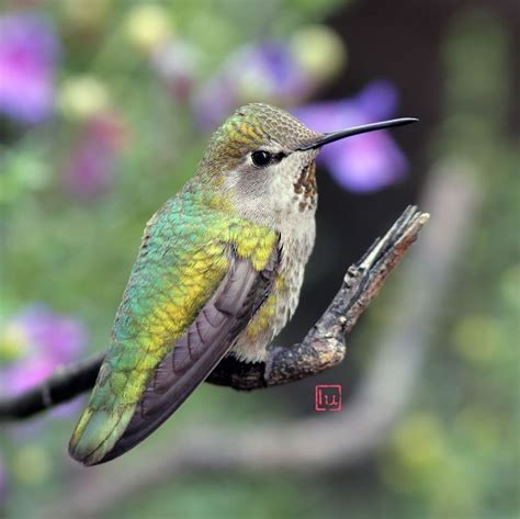 female Anna's Hummingbird   Annas hummingbird, Hummingbird ...