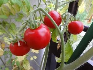 Quand Planter Les Tomates Cerises : mes conseils pour la culture de vos tomates ~ Farleysfitness.com Idées de Décoration