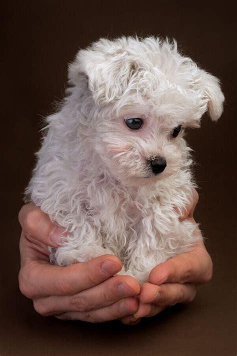 top 10 best hypoallergenic dog breeds cute pinterest