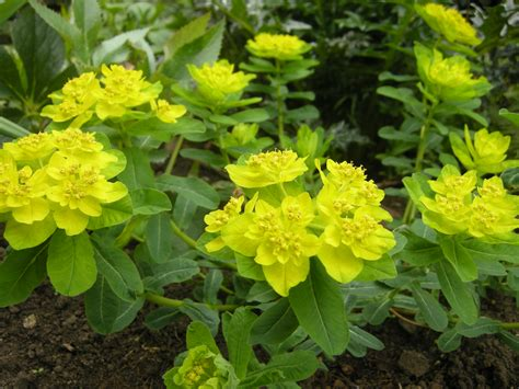 euphorbia spurge euphorbia polychroma landscape architect s pages